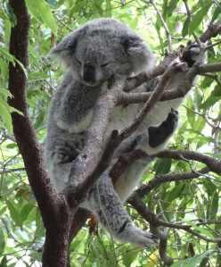 Koala at zoo